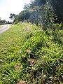 Starr 061128-1607 Melinis minutiflora.jpg