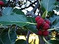 Starr 070727-7643 Ficus benghalensis.jpg