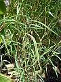 Starr 080117-2051 Otatea acuminata subsp. aztecorum.jpg