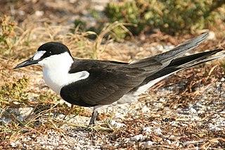 Sooty tern species of bird
