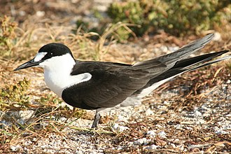 Soldado Rock - Sooty tern (pictured here in the French Frigate Shoals) is one of the species of birds that nest on Soldado Rock
