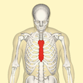 Sternum above.png