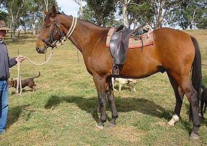 Australian Stock Saddle - A horse wearing a traditional Australian Stock Saddle