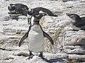 Stony Point Penguin Colony - panoramio (13).jpg