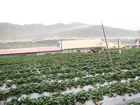 Strawberry farm in DaHu Taiwan.JPG