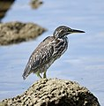 Striated Heron (47729340952).jpg