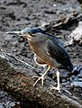 Striated Heron Butorides striata by Dr. Raju Kasambe DSCN9552 (2).jpg