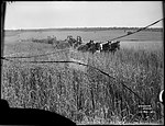 Stripping Wheat (4903249927).jpg