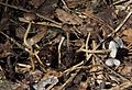 Strobilurus esculentus (8726584530).jpg