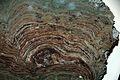 Stromatolites (Snowslip Formation, Belt Supergroup, Mesoproterozoic, 1.44 Ga; Glacier National Park, Montana, USA) 2 (15202486355).jpg