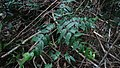 Strychnos sp., Loganiaceae, Atlantic forest, northeastern Bahia, Brazil (6818006520).jpg