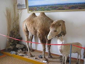 Lop Nur Wild Camel National Nature Reserve - Stuffed Wild Bactrian Camel