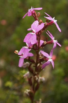 Stylidium graminifolium 4233