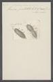 Stylonychia pustulata - - Print - Iconographia Zoologica - Special Collections University of Amsterdam - UBAINV0274 113 18 0011.tif