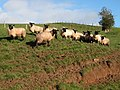 Suffolk sheep on Highgrove Farm, St Briavels - geograph.org.uk - 285945.jpg