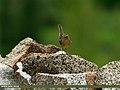 Sulphur-bellied Warbler (Phylloscopus griseolus) (23591252776).jpg
