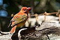Summer Tanager (1st year male) Sabine Woods High Island TX 2018-04-26 09-54-19-4 (27221351157).jpg