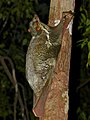Sunda Flying Lemur (Galeopterus variegatus) (15503203089).jpg