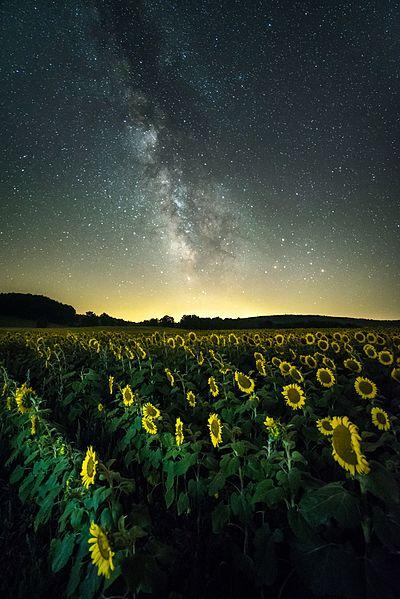 File:Sunflower field Milky Way.jpg
