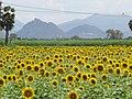 Sunflower fields,Nilakottai,Tamilnadu - panoramio.jpg