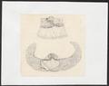 Sus scrofa domestica - baarmoeder - 1700-1880 - Print - Iconographia Zoologica - Special Collections University of Amsterdam - UBA01 IZ21900171.tif
