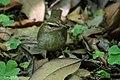 Swainson's Warbler Hooks Wood High Island TX 2018-04-11 09-59-13 (40910419815).jpg
