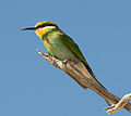 Swallowtailed bee-eater.jpg