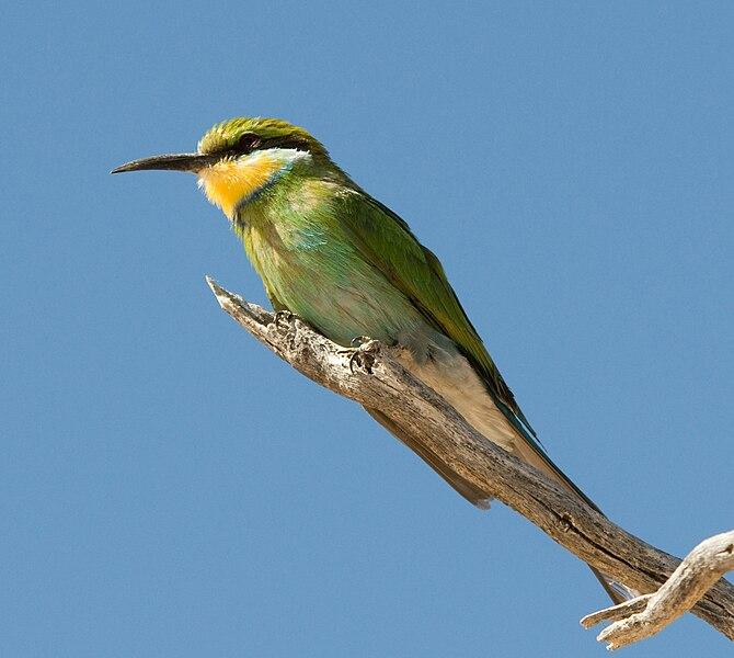 Ficheiro:Swallowtailed bee-eater.jpg