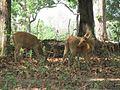 Swamp Deer aka barasingha.jpg