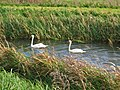 Swans On Kelk Beck - geograph.org.uk - 387245.jpg