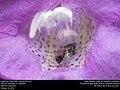 Sweat bee (Halictidae, Lasioglossum sp.) (31066497396).jpg