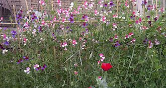 Sweet pea - Sweet pea at fencing