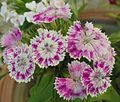 Sweet William-Dianthus barbatus (10).JPG