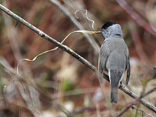 Penica čiernohlavá (Sylvia atricapilla) - samček