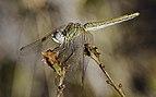 Sympetrum fonscolombii, female, Sète cf01.jpg