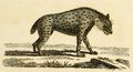 Synopsis Quadrupeds crocuta.png