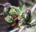Syringa vulgaris, Waldsieversdorf.png