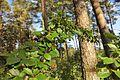 Türnpuu Aruküla männikus.jpg