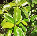 Tabernaemontana citrifolia.jpg