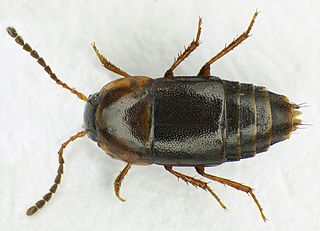 <i>Tachinus</i> Genus of beetles