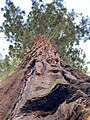 Tall Redwood.jpg