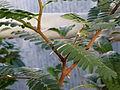 Tamarindus indica (DITSL).JPG