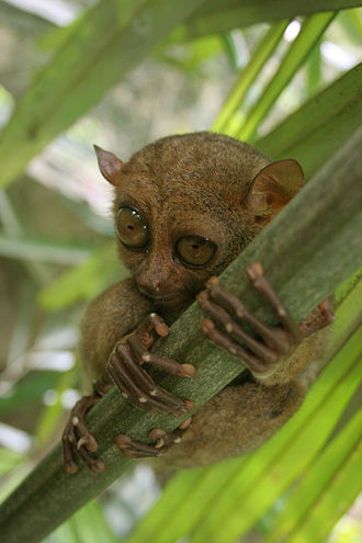 Tarsier - Philippine tarsier (Carlito syrichta)