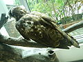 Taxidermied Crested Serpent Eagle - Spilornis cheela - Ninoy Aquino Parks & Wildlife Center.jpg