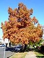 Taxodium distichum growing as a street tree.jpg
