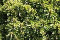 Teguise Guatiza - Jardin - Euphorbia neriifolia 08 ies.jpg