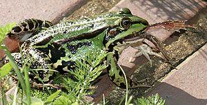 Edible frog eating a fellow edible frog