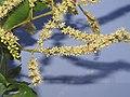 Terminalia elliptica - Indian Laurel flowers at Nedumpoil (24).jpg