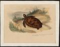 Testudinae spec. - 1700-1880 - Print - Iconographia Zoologica - Special Collections University of Amsterdam - UBA01 IZ11600223.tif