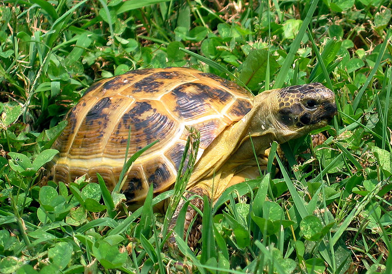 the russian or horsefield s tortoise an ideal first